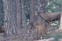 Kızıl geyiklerin yaptıkları kurlar böyle görüntülendi