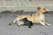 Yavru kediyi emziren köpek