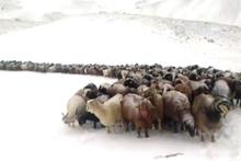 Ağrı'ya mevsimin ilk karı düştü! Koyun sürüsü tipiye yakalandı