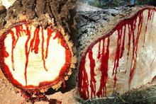 Kanayan 'Ejder Ağacı' nedir? İşte hiç bilmediğiniz faydaları...