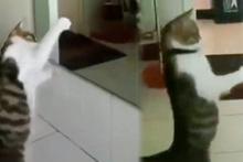 Kendi yansımasıyla boks yapar gibi oynayan kedi