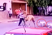 İki pitbull ata böyle saldırdı!