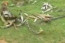 Belgesel değil gerçek! Köpeği boa yılanı böyle boğmaya çalıştı