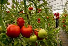 Yurtdışına en çok domates sattık