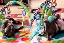 Çocuk gibi oynayan pitbull bu kez farklı görüntülendi
