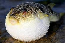 Siyanürden 50 kat zehirli balon balığı yedi yoğun bakıma alındı