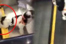 Minik köpek yürüyen merdivene sıkıştı