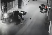 'İnekten kurtulayım' derken duvara çarptı, inekler bakakaldı