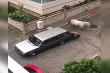 Görenler tepki gösterdi! Atı otomobilin arkasına bağladı