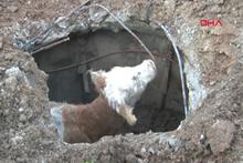 Havlayan köpek rögara düşen buzağıyı kurtardı
