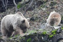 Kış uykusuna yatmayan ayı ve yavrusu görüntülendi