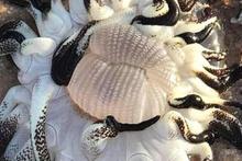 Onlarca kolu olan dev deniz yaratığı bulundu