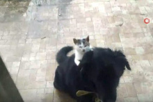 Köpeğin sırtında mama bekleyen kedi gülümsetti