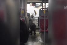 Otobüste ilginç görüntü! Köpek, şoförün koltuğuna oturdu