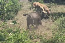 Bufalo sürüsü yavru fili böyle kurtardı! İşte o anlar...