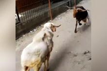 Tepki çeken görüntü! iki inatçı keçinin kavgası amatör kamerada