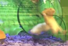 Karizmayı çizdiren hamster