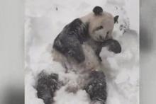 Sevimli panda karı görünce kendinden geçti