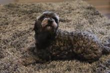 Halıyla kamufle olan sevimli köpek