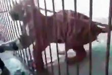 Vahşi kaplan, kafesinin içinden saldırdı