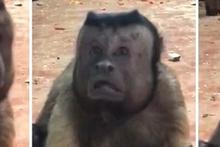 İnanılmaz derecede insana benzeyen suratıyla şaşkınlık yaratan maymun