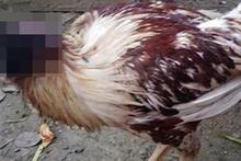 Başı kopan tavuk 10 gündür hayatta