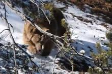 Anne ayının yeni doğan yavrularıyla zorlu mücadelesi
