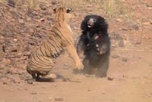 Kaplana ayının nefes kesen kavgasında bakın kazanan kim!