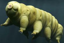 Dünyanın en dayanıklı canlısı: Su ayısı