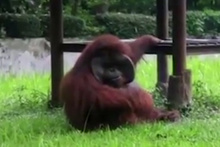 Sigara içen orangutan sosyal medyayı salladı