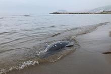 Karadeniz'de son 11 günde 37 yunus karaya vurdu!