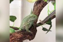 Küsen kurbağa yemeği elinin tersiyle itti