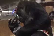 Anne gorilin yavrusuyla ilk karşılaşma anı!