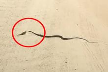 Yılan karşısında avlanmayı bekleyen bukalemun
