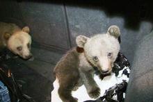 Köpeklerin saldırısından kurtarılan yavru ayılar ilgi odağı oldu