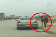 Atı otomobiline bağlayıp böyle koşturdu!