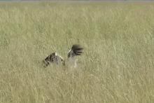 Bunu hiç beklemiyordu! Avlanmak isteyen leylek hayatının şokunu yaşadı