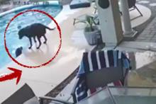 Havuzdaki arkadaşını kurtaran köpek