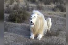 Görenleri şaşkına çeviren beyaz aslan