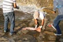 Kuşadası sahilinde dev kalamar yakalandı