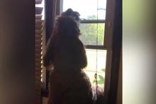 Ambulansa yanıt veren köpek sosyal medyayı salladı