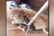 Kedinin zor anları! Fare bir türlü bırakmadı