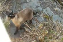Bunu hiç beklemiyordu! Yakaladığı tavşanı baykuşa böyle kaptırdı