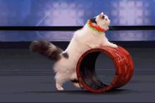 İzleyenler hayran kaldı! Kedilerin büyüleyici yeteneği