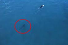 Sörfçüleri takip eden balina, saniye saniye görüntülendi