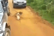 Dehşet anları! Leopar köpeğe böyle saldırdı