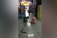 Kedi, oyuncak ayıya böyle saldırdı