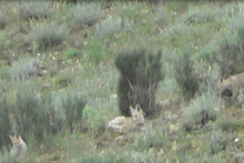 Erzurum'da tilkiler böyle görüldü