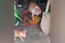 Yok böyle cesaret! Kedi tam mamasını yerken...