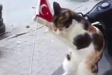 Sevimli kedinin bayrak sevgisi